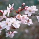 100年ぶりに桜の新種発見!?クマノザクラと命名、間違いやすい山桜との違いは?開花時期はいつ?